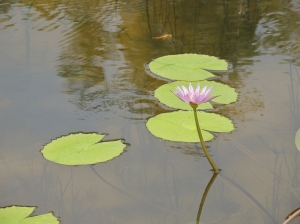 Dragonfly, water Lily and pond, a truly life sustainable ecosystem