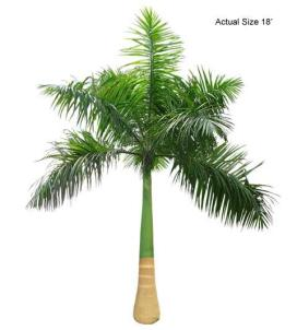cuban-royal-palm-tree-roystonea-regia-30-01-b-realpalmtrees_com