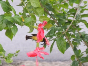 Bright red hibiscus attracted many sunbirds